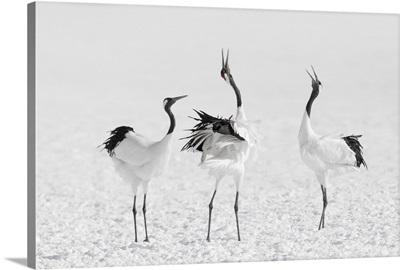 Red-Crowned Crane (Grus Japonensis) Group Of Three Vocalising, Hokkaido, Japan