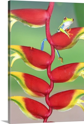 Red-eyed Tree Frog on a Heliconia  flower, Costa Rica