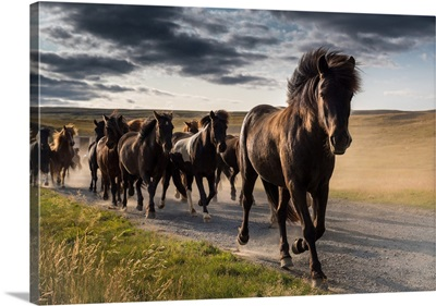 Running Icelandic Horses, Iceland
