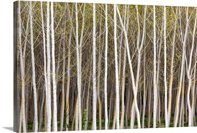 Silver birch trees in early spring in the Rioja, Alava, Spain, Europe