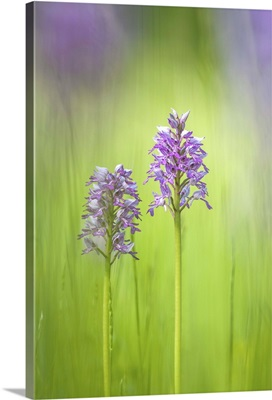 Slovenia, Orchis militaris in the green grass