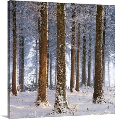 Snow covered pine woodland, Morchard Wood, Morchard Bishop, Devon, England