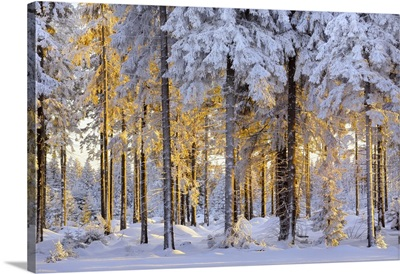 Snow-Covered Spruce Forest In Evening Light, Ore Mountains, Erzgebirge, Saxony, Germany
