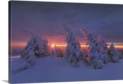Snow-Covered Spruces, Summit Of Brocken, Harz National Park, Saxony-Anhalt, Germany