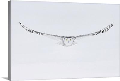 Snowy Owl (Bubo Scandiacus), Ontario, Canada