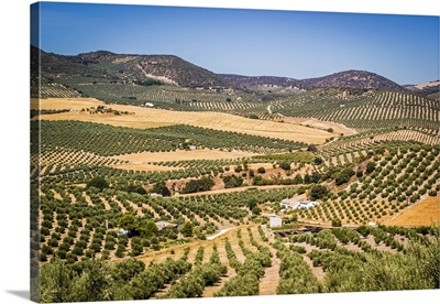 Spain, Andalucia. Olive Trees endless field in summer