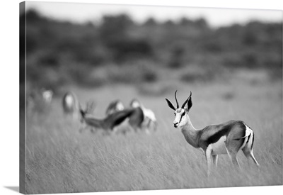 Springbok, Deception Valley, Central Kalahari Game Reserve, Kalahari Desert, Botswana