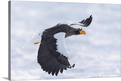 Steller's Sea Eagle Flying Over Sea Ice In The Nemuro Strait, Hokkaido, Japan