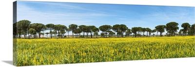 Stone pines, Comporta. Alentejo, Portugal