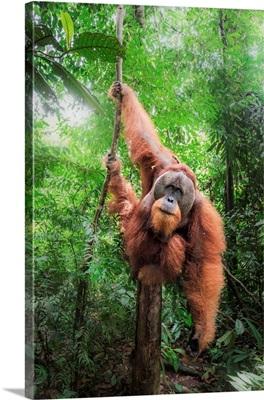 Sumatran Orangutan Climbing A Tree In Gunung Leuser National Park, Northern Sumatra