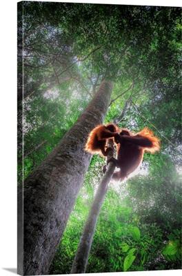 Sumatran Orangutan Mother With Baby Climbing A Tree In Gunung Leuser National Park