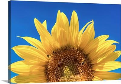 Sunflower Detail, Provence, France