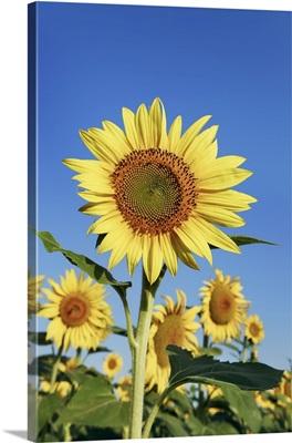 Sunflower Field, France, Alpes De Haute Provence, Forcalquier, Valensole