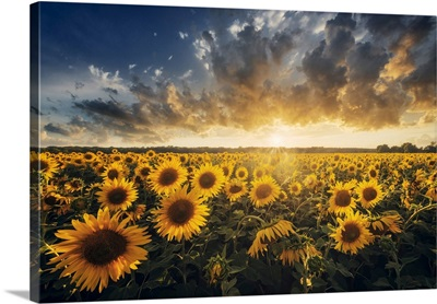 Sunflowers During A Colorful Summer Sunset In Tuscany, Italy