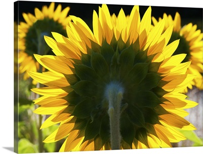 Sunflowers in the morning light, Provence, France