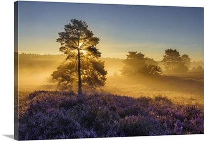 Sunlight-Flooded Tree, Blooming Heathland In The Lueneburg Heath, Lower Saxony, Germany