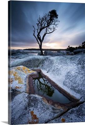 Tasmania, Australia. Single tree reflected in water pool at Bay of Fires, at sunrise