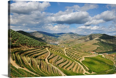 Terraced vineyards along the Douro river during the grapes harvest, Portugal