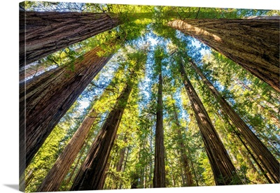 Towering Giant Redwood Trees, Jedediah Smith Redwood State Park, California, Usa