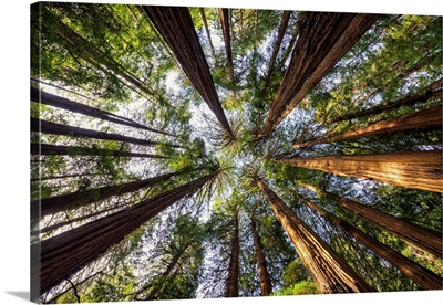 Towering Giant Redwoods, Muir Woods National Monument, California, Usa