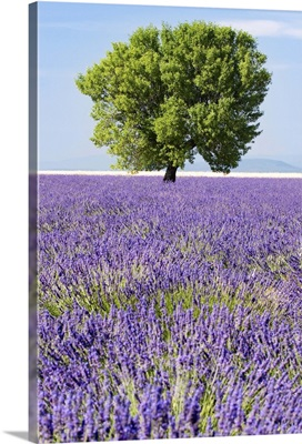 Tree in a lavender field, Valensole plateau, Provence, France