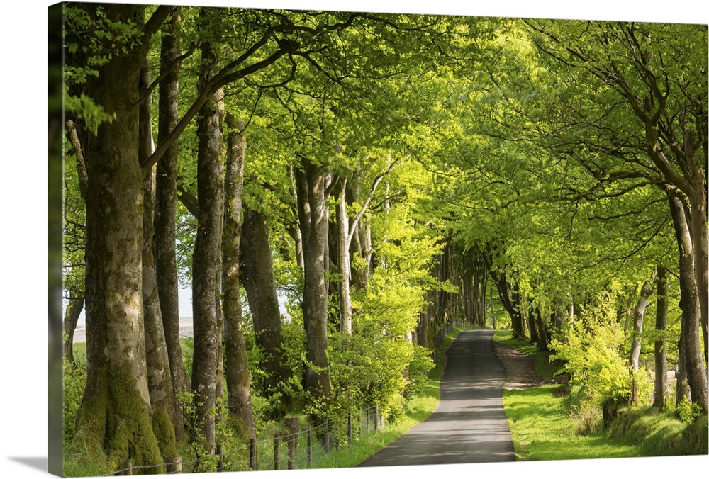 Tree lined avenue in spring time, Dartmoor National Park, Devon, England