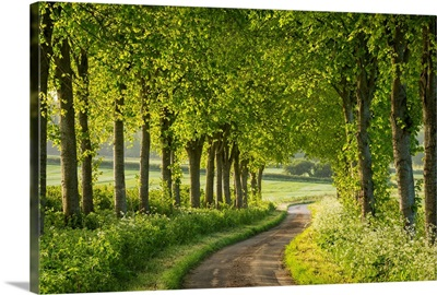Tree lined country lane in rural Dorset, England