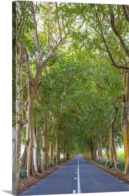 Tree lined road, Flacq, East Coast, Mauritius