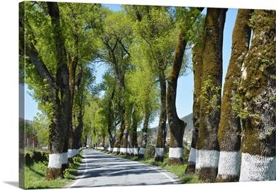 Tree lined road, Marvao, Portugal