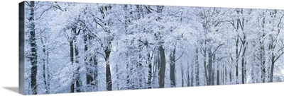 Trees with snow and frost, Wotton, Glos, UK