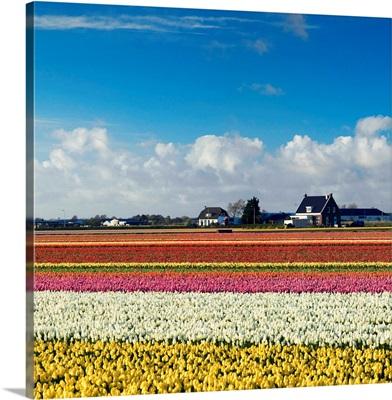 Tulips in fields, Lisse, Netherlands