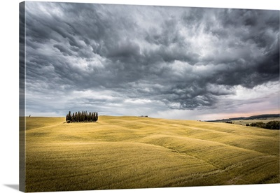 Tuscany, Val d'Orcia, Italy. Cypress trees in a yellow meadow