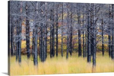 UK, Scotland, Highlands, Pine trees shape a surreal landscape