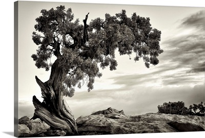 Utah, Dead Horse State Park, Juniper Tree