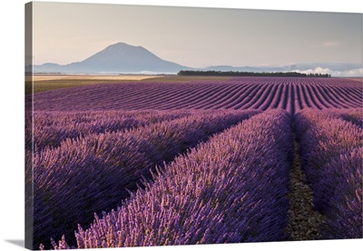 Valensole plateau, Provence, France. Flowering lavender at dawn