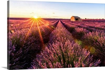 Valensole Plateau, Provence, France. Lavender field