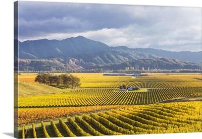 Vineyards at sunrise, Blenheim, Marlborough, South Island, New Zealand
