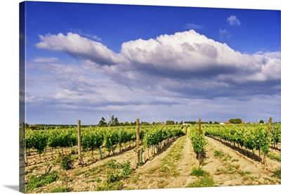 Vineyards In Spring, Fernao Po, One Of The Best Terroir In The Palmela Region, Portugal