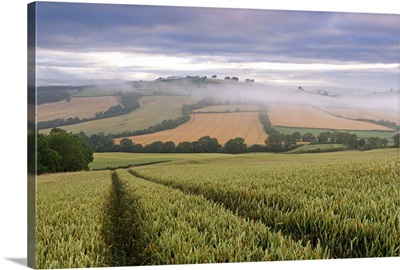 Wheat field and rolling countryside at dawn, Devon, England