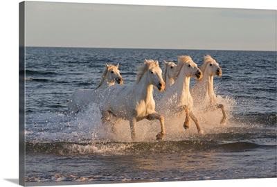 White horses of the Camargue run through the Mediterranean sea