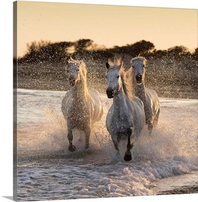White horses of the Camargue run through the surf in the mediterranean sea