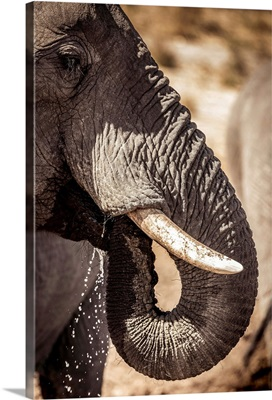 Wild elephant portrait, Botswana, Africa
