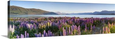 Wild lupins, Lake Tekapo, Mackenzie Country, Canterbury, South Island, New Zealand
