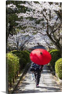Woman In Kimono Walking In Garden With Cherry Blossom, Kyoto, Kansai, Japan (MR)