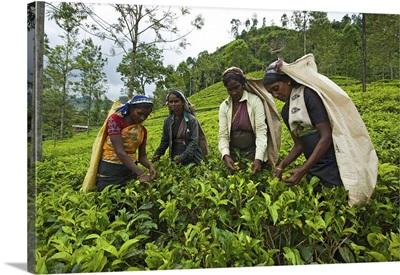 Women harvesting tea, Nuwara Eliya, Sri Lanka