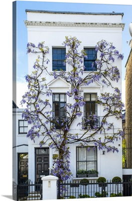 Wysteria Growing Infront Of A House In Kensington, London, England, UK