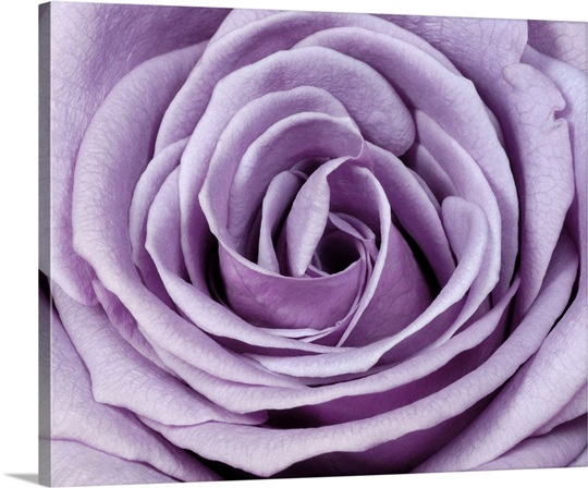 Lavender Wall Art lavender rose wall art, canvas prints, framed prints, wall peels
