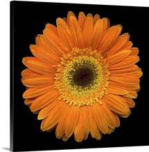 Single Orange Daisy 1