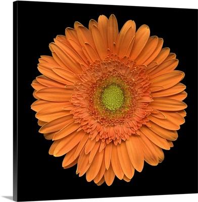 Single Orange Daisy 2