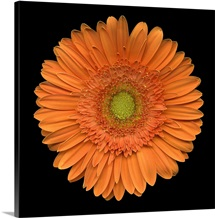 Single Orange Daisy 2